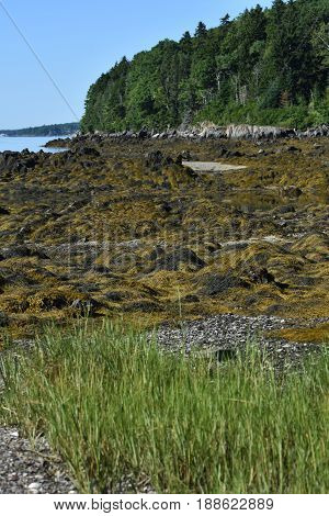 Seaweed covered beach and rocks on an island in Maine.