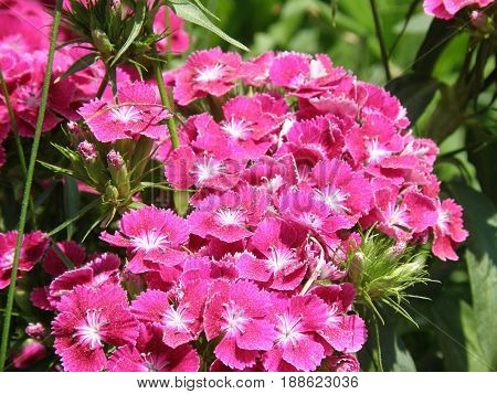 Blooming garden with hot pink sweet William Flowers in bloom.