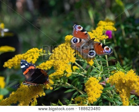 Peacock and red admiral butterflies are flickering on yellow flower.