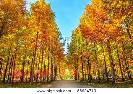 Autumn trees in Nami island, South Korea.
