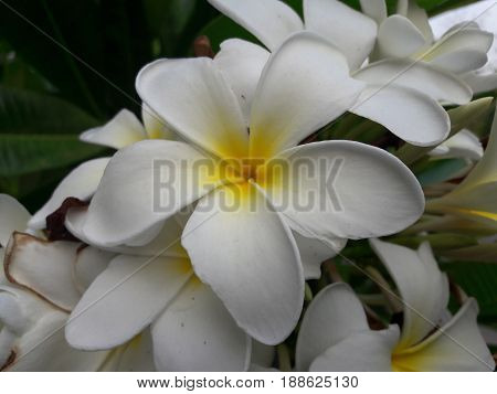 Frangipani flowers Frangipani flowers White flowers  Flowers and leaves