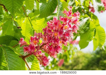 Inflorescence of red horse-chestnut against the background of the leaves closeup