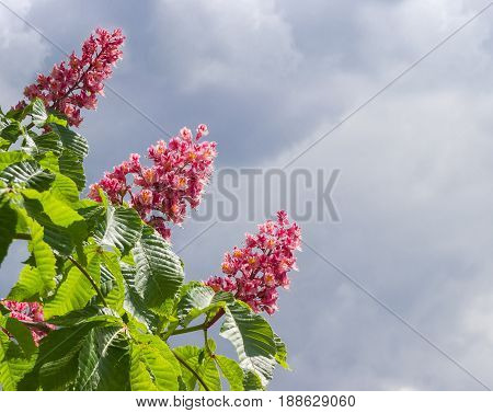 Blooming red horse-chestnut against the sky with clouds