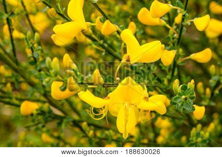 Scotch broom in blossom - seen at nature reserve wahner heide near cologne, germany