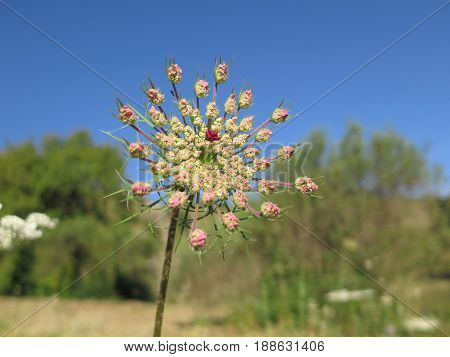 Young Pink Hogweed Flower