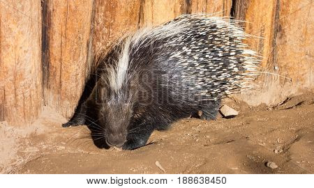 African Crested Porcupine attack is imminent with sharp quills ready to stab invaders and offenders