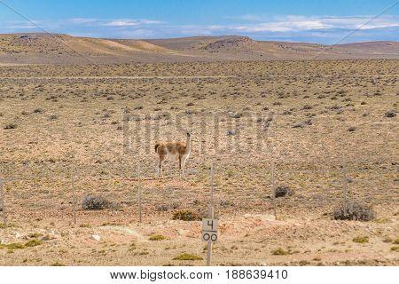 Guanaco At Patagonia Landscape, Argentina