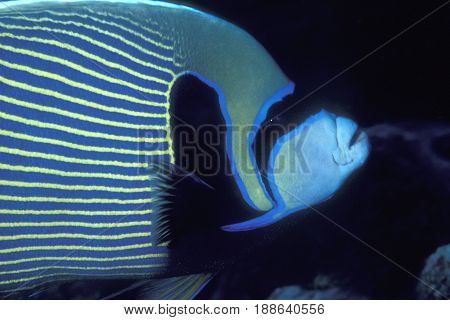 A closeup of an Emperor Angelfish, (Pomacanthus imperator) from the Kwajalein Atoll in the PAcific