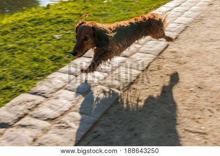 The Dachshund Runs Along The Water