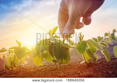 Farmer working in soybean field in morning hand holding leaf of cultivated plant