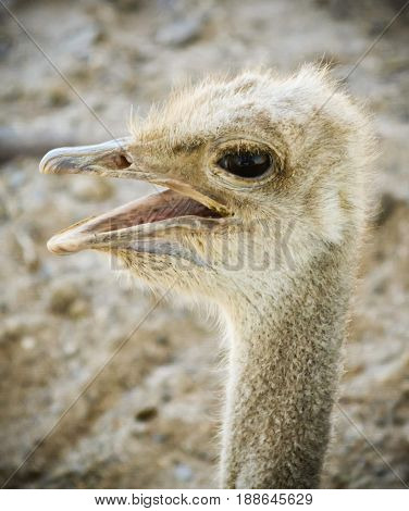 A Close Up Portrait of a Female Ostrich or Struthio camelus