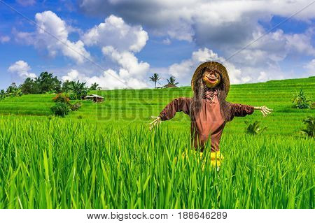 Scarecrow in rice fields. Bali in Indonesia.
