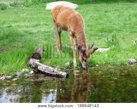 A Mule deer drinking water from a pond.