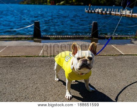 Adorable Bulldog portrait with yellow cloth at lake Ashi with Red Torii gate view Hakone