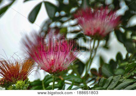 Flower lace is a medium tassel pink- white.