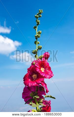 Beautiful Pink Hollyhock Flowers Over Blue Sky With Clouds. Outdoor Summer Day.