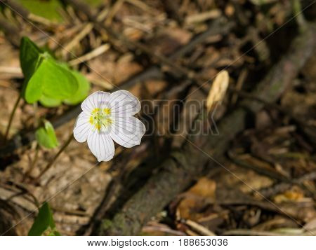 Common Wood Sorrel Oxalis acetosella flower macro with leaves defocused selective focus shallow DOF.