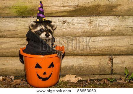 A cute baby Raccoon hiding in a Jack-o-Lantern trick or treat bucket