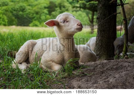 White Lamb Lies In The Grass (meadow) Near Trees