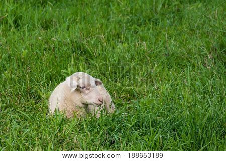 White Lamb Lies In The Grass (meadow)