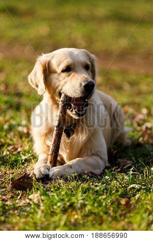 Dog gnawing stick lying on lawn in park