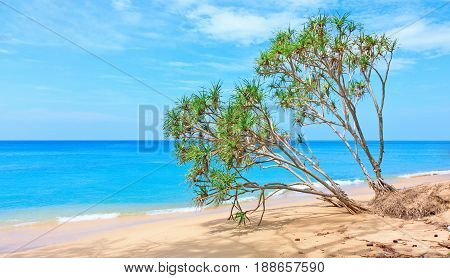 Leaning Screw Pine tree in the shape of heart on the beach Phuket Thailand