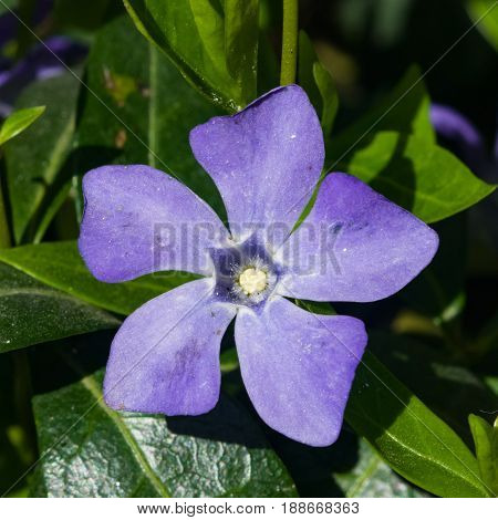 Large or Blue Perwinkle Vinca major flower macro selective focus shallow DOF.