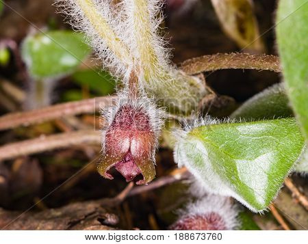Flower asarum europaeum wild ginger or hazelwort macro in the spring forest selective focus shallow DOF.