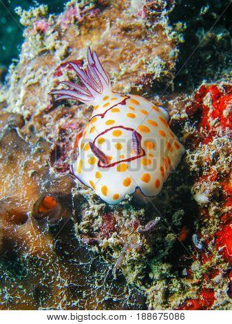 Chromodoris Annulata Nudibranch, Sea Slug