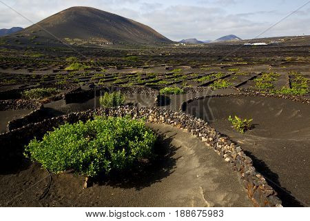 Grapes Cultivation   Winery Lanzarote Vine Screw Wall Crops
