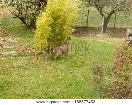 Roe deer buck laying its scent by a bamboo plant