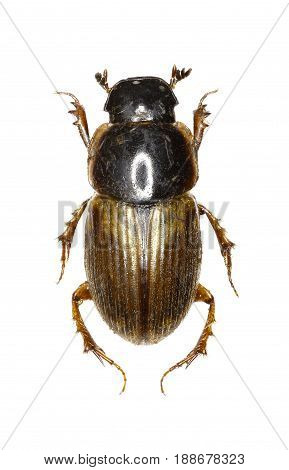 Dung Beetle Aphodius on white Background - Aphodius prodromus (Brahm 1790)