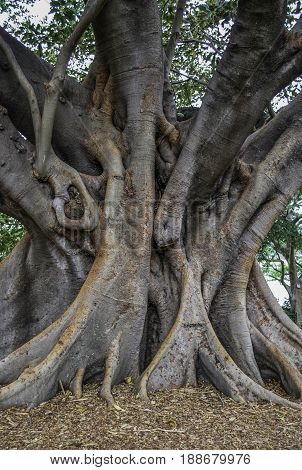Big curved trunk of Australian banyan tree also known as ficus macrophylla or fig tree