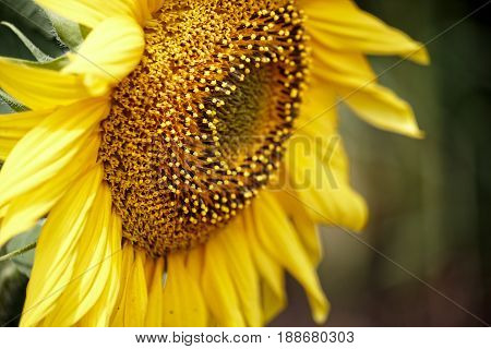 Close Up of Cute sunflower in the field. Beautiful sunflowers blooming on the field