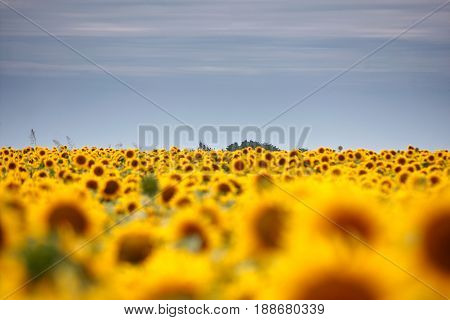 Sunflowers background in sunny day. focus back Agriculture business concept.