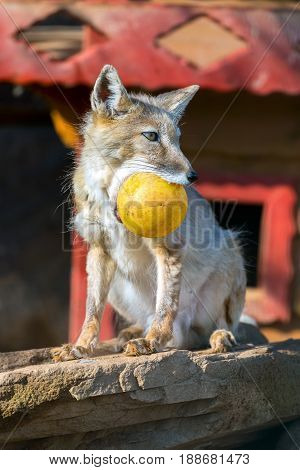 ridiculous Vulpes corsac. foxes with the yellow sphere. A wild animal in a zoo.