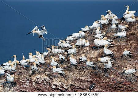 Northern Gannets brooding and sitting at their nests at red cliffs of Helgoland Germany