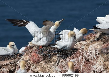 Northern Gannets brooding and sitting at their nests at red cliffs of Helgoland