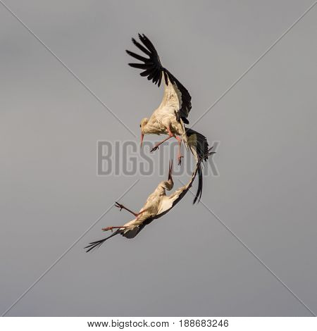 Two beautiful cranes dance in the gray sky of Latvia