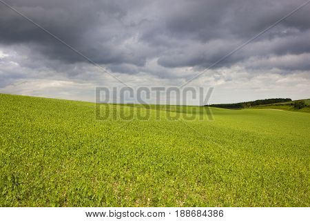 Pea Field And Storm Clouds