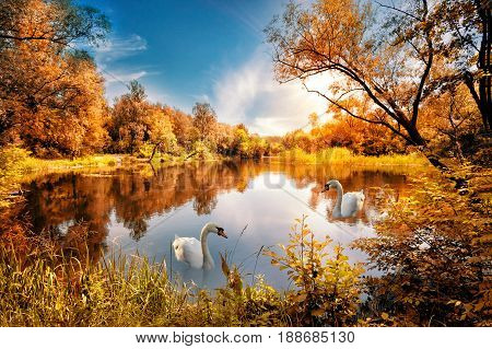 Lake with red autumn trees on the shore and swan under the blue sky