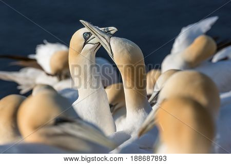 Northern Gannets brooding at red cliffs of German island Helgoland
