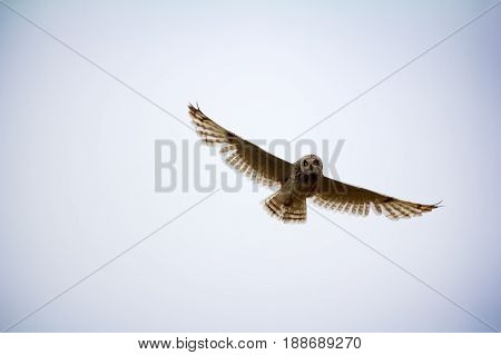 Nocturnal birds of prey. Short-eared owl (marsh owl Asio flammeus) flies over nest looking down poster