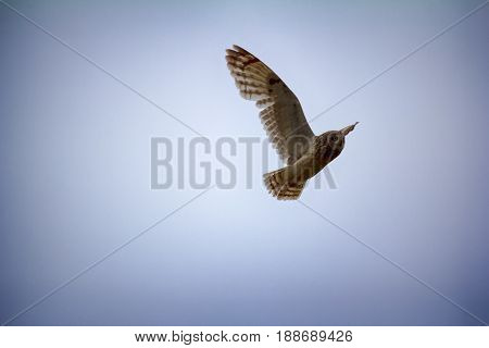 poster of Nocturnal birds of prey. Short-eared owl (marsh owl Asio flammeus) flies over nest looking down
