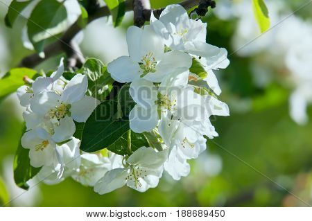 Apple-tree flower on green background of garden in a spring day.