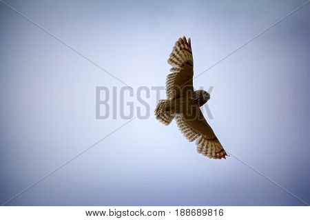 Short-eared Owl (marsh Owl, Asio Flammeus) Flies Over Nest