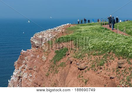 HELGOLAND GERMANY - MAY 27 2017: Hiking people along the red cliffs of Helgoland and admiring the brooding Northern Gannets