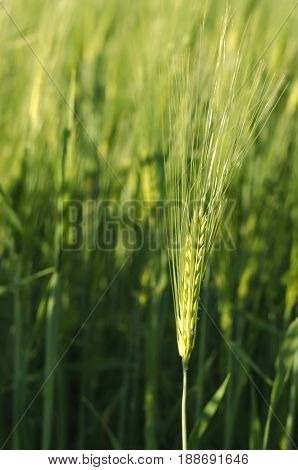 Ears Of Rye And Wheat Growing