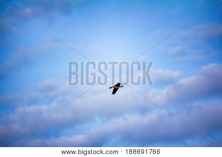 Bean Goose Is Flying On Background Of Summer Blue Sky