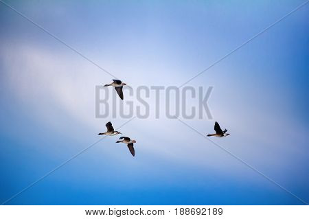 Forest-breeding Bean Goose - Flock Of Breeding Geese
